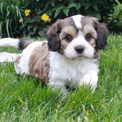 Bo - Cavachon puppy for sale in Gordonville, Pennsylvania