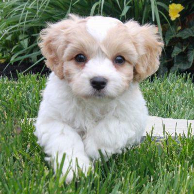 Bobby - Cavachon male pup for sale at Gordonville, Pennsylvania