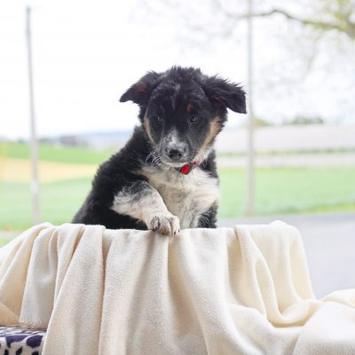 Breeze - Border Collie Mix puppie for sale near Chambersburg, Pennsylvania