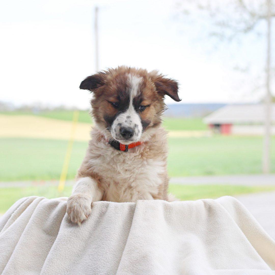 Bridget - doggie Border Collie Mix female for sale in Chambersburg, Pennsylvania