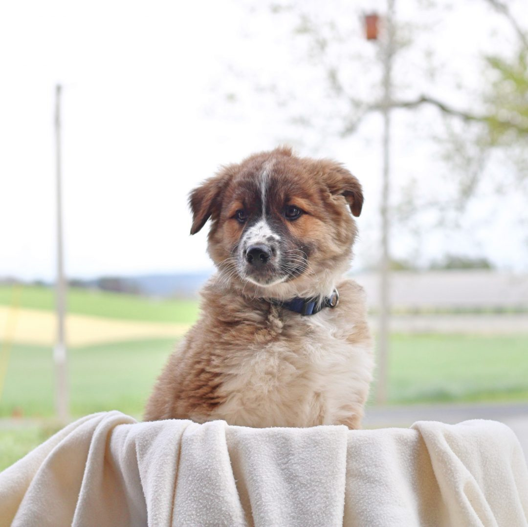 Bryce - male Border Collie Mix pup for sale near Chambersburg, Pennsylvania