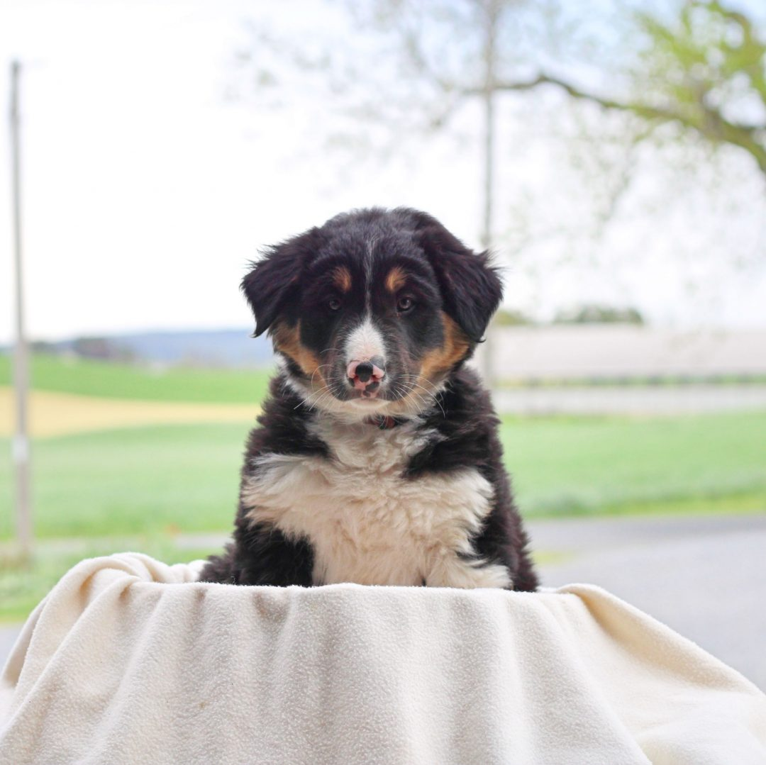 Buster - Border Collie Mix male pupper for sale in Chambersburg, Pennsylvania