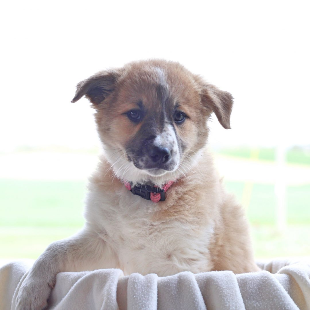 Buttercup - pup Border Collie Mix for sale in Chambersburg, Pennsylvania