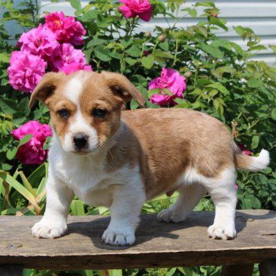 Captain - Welsh Corgi/Jack Russel Mix male doggie for sale at Paradise, Pennsylvania