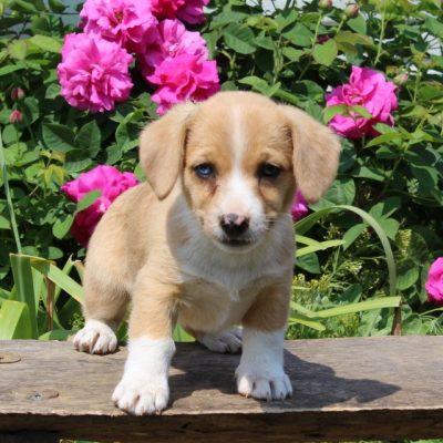 Carrie - Welsh Corgi/Jack Russel Mix doggie for sale near Paradise, Pennsylvania