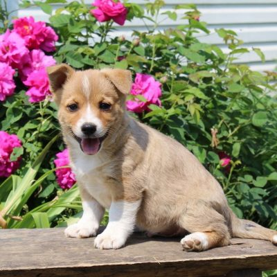 Carson -Welsh Corgi/Jack Russel Mix male puppy for sale near Paradise, Pennsylvania