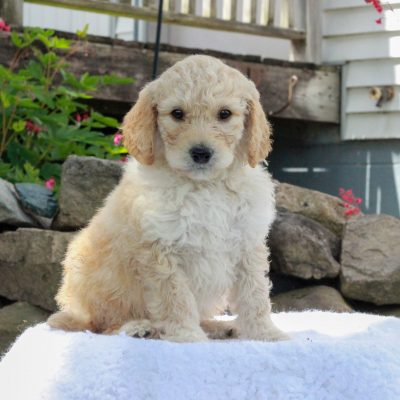 Charlie - F1b Standard Goldendoodle pupper for sale near Manheim, Pennsylvania