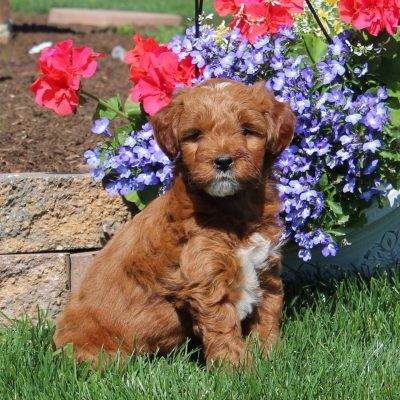 Chip - Mini Goldendoodle male doggie for sale at Oxford, Pennsylvania