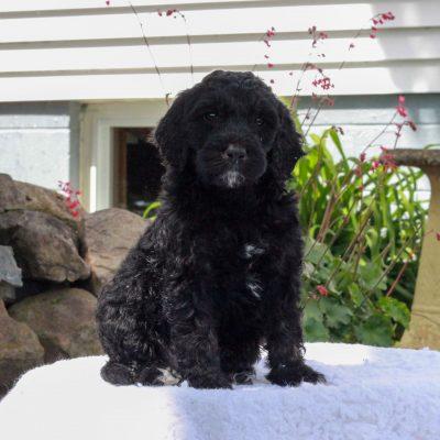 Chuck - f1b Standard Goldendoodle male doggie for sale near Manheim, Pennsylvania