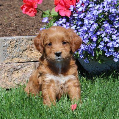 Claire - Mini Goldendoodle female puppie for sale at Oxford, Pennsylvania