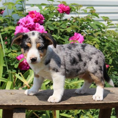 Clifford - Welsh Corgi/Jack Russel Mix male puppie for sale in Paradise, Pennsylvania