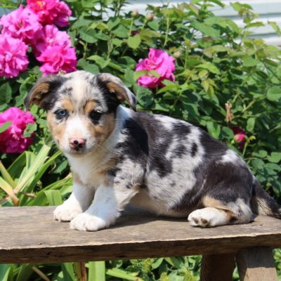 Cocoa - female Welsh Corgi/Jack Russel Mix puppie for sale at Paradise, Pennsylvania