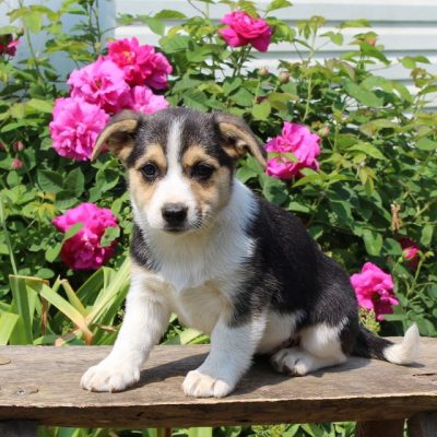 Coffee - Welsh Corgi/Jack Russel Mix puppy for sale in Paradise, Pennsylvania