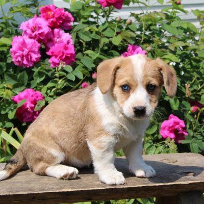 Connie - Welsh Corgi/Jack Russel Mix female pup for sale at Paradise, Pennsylvania