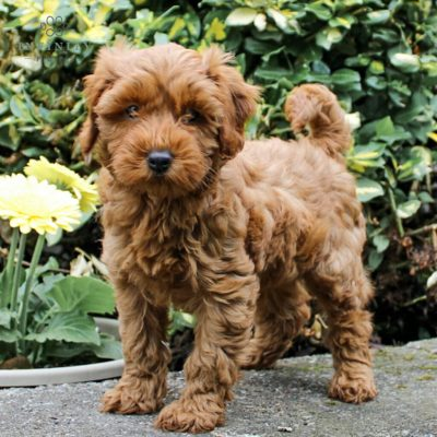 Daisy - F1bb Mini Goldendoodle pup for sale near Leola, Pennsylvania