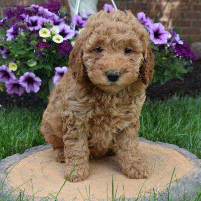 Dolly - Mini Goldendoodle female pupper for sale in Narvon, Pennsylvania
