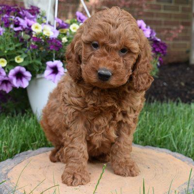 Duke - Mini Goldendoodle pupper for sale at Narvon, Pennsylvania