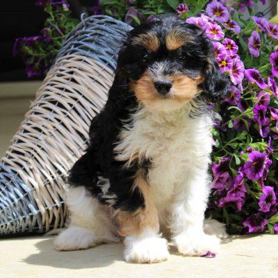 Ellie - F1 Cavachon female pup for sale near Kinzers, Pennsylvania