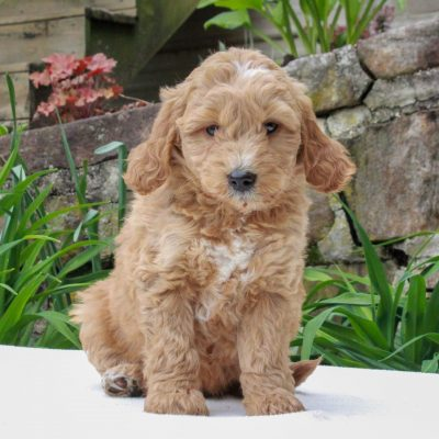 Felix - F1b Mini Goldendoodle