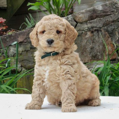 Flynn - F1b Mini Goldendoodle