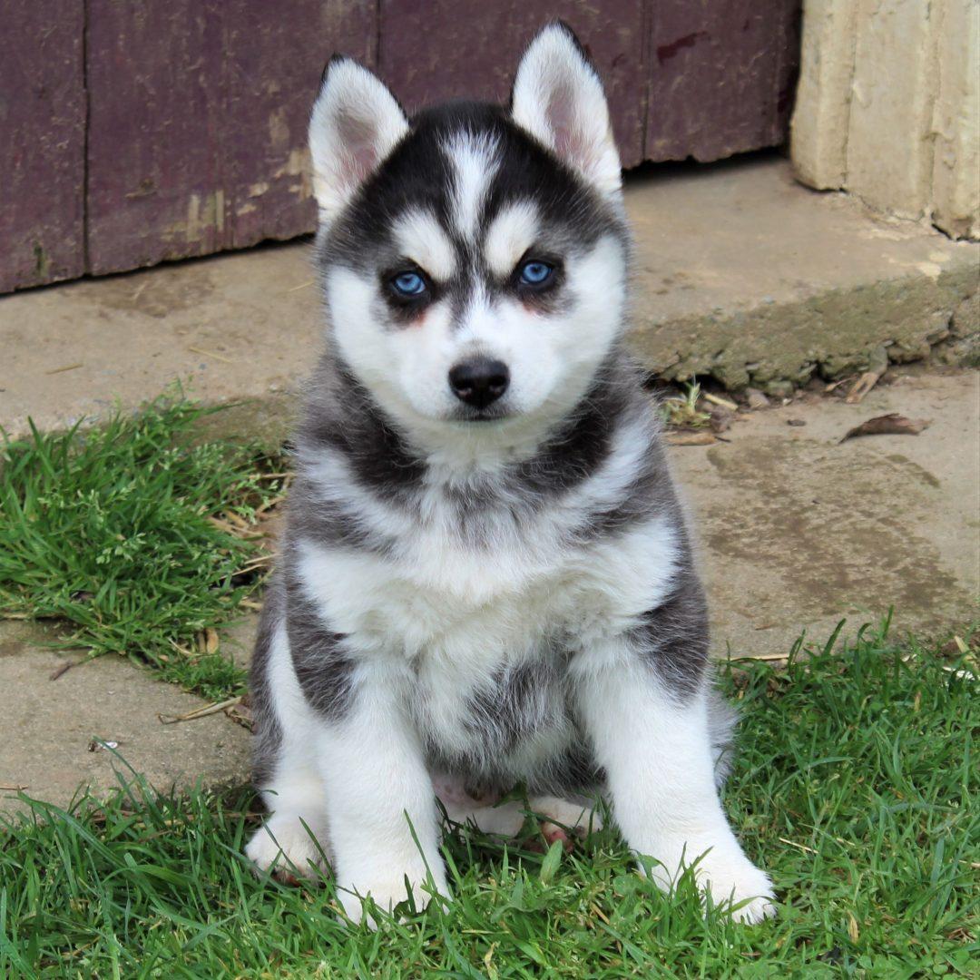 Frank - Pomsky male puppie for sale at Ephrata, Pennsylvania