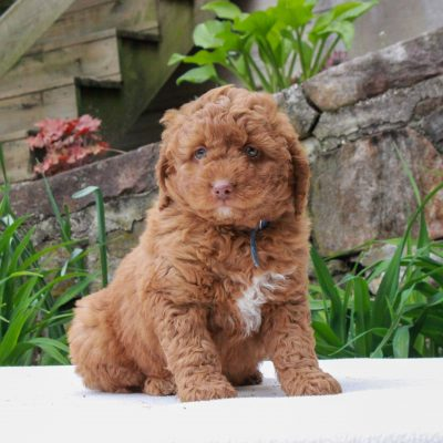 Franklin - F1b Mini Goldendoodle