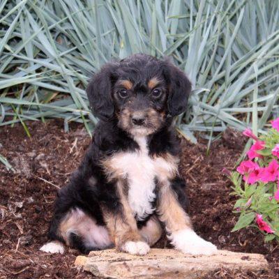 Freddy - doggie F1 Yorkipoo male for sale at Christiana, Pennsylvania