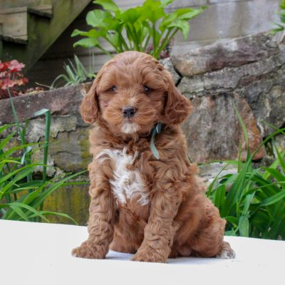 Freddy - F1b Mini Goldendoodle
