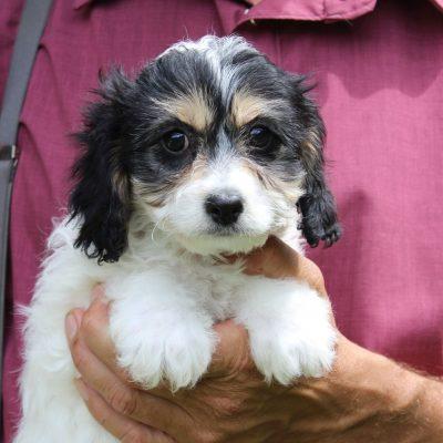Gaby - F1 Cavachon puppy for sale in Kinzers, Pennsylvania