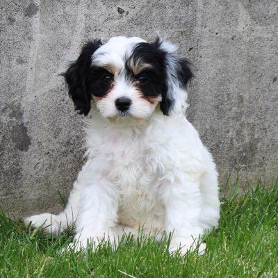 Gia - female F1 Cavachon puppie for sale in Kinzers, Pennsylvania
