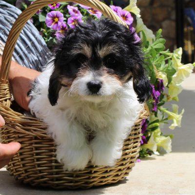 Glory - F1 Cavachon female doggie for sale at Kinzers, Pennsylvania