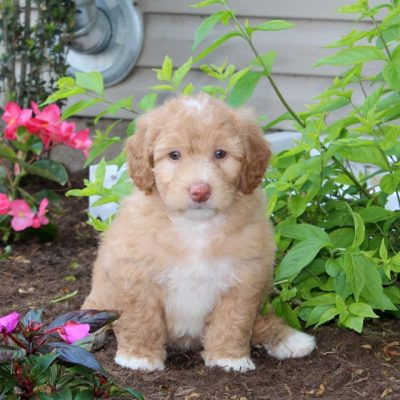 Gracie - female Mini Sheepadoodle puppy for sale in Strasburg, Pennsylvania