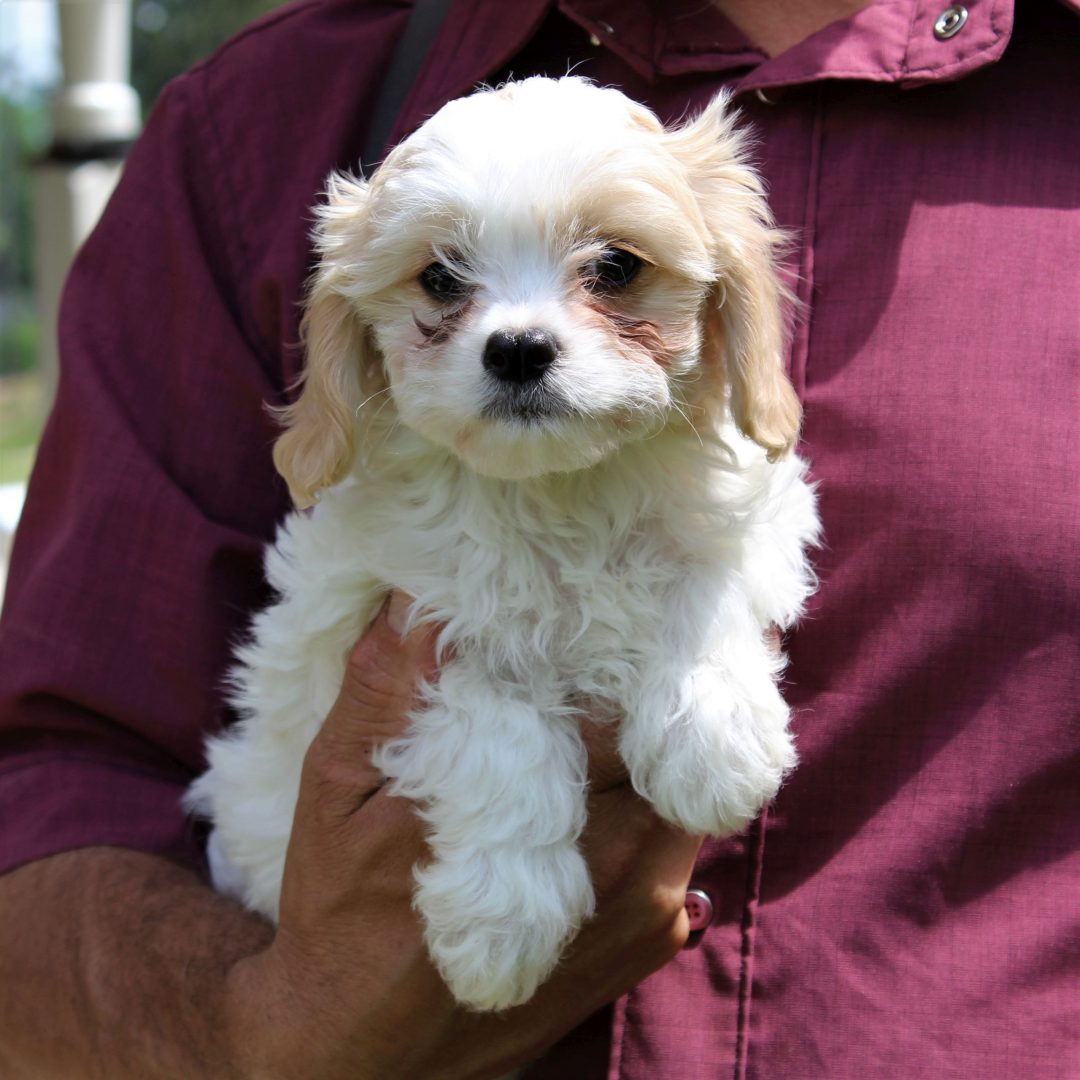 Grey - puppy F1 Cavachon male for sale at Kinzers, Pennsylvania