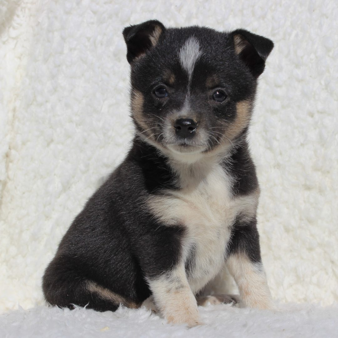 Hailey - Spitz Mix male puppie for sale in Charlotte Hall, Maryland