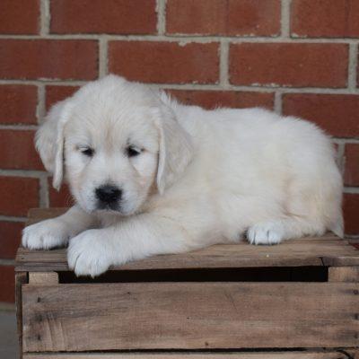 Hailey - female AKC English Cream Golden Retriever puppie for sale in Gordonville, Pennsylvania