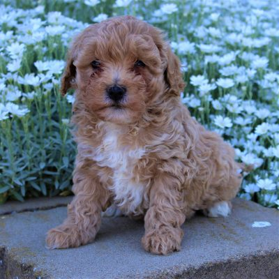 Hannah - Cavapoo-chon female puppy for sale in Leola, Pennsylvania