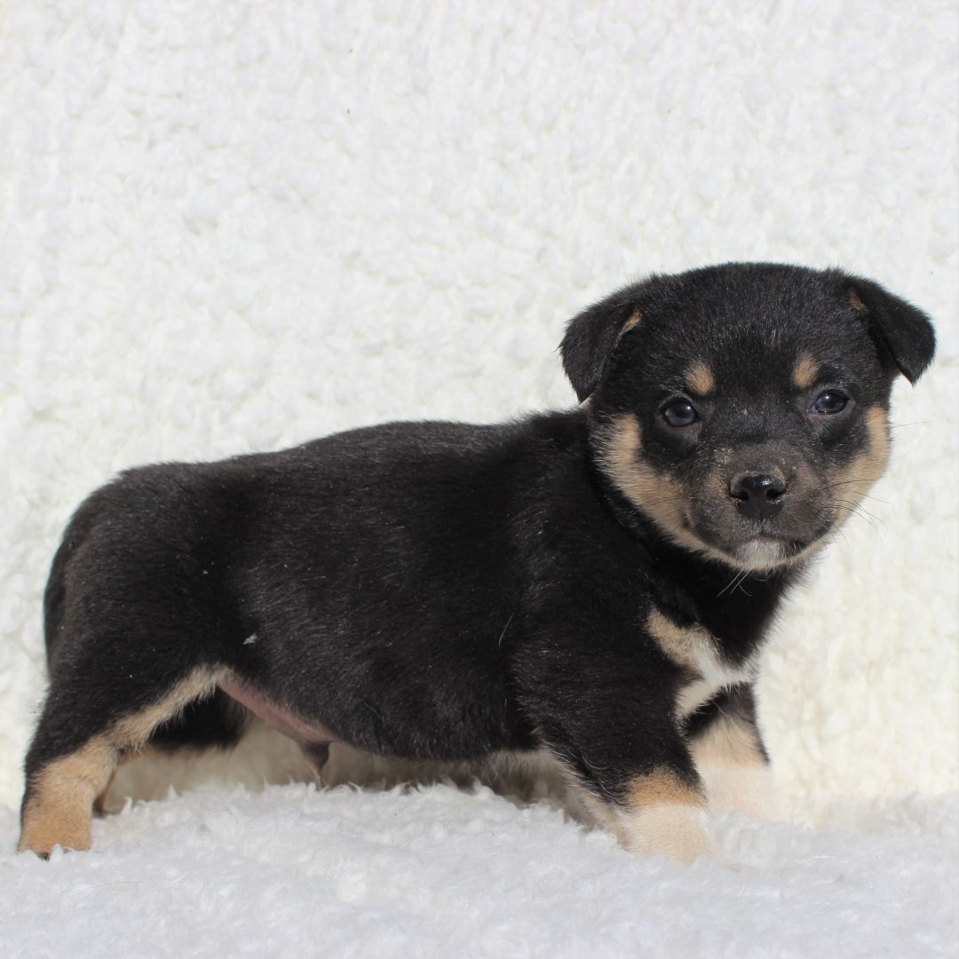 Harry - male Spitz Mix pup for sale at Charlotte Hall, Maryland
