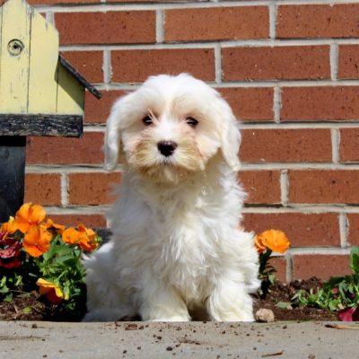 Harry - F1 Cavachon male doggie for sale in New Providence, Pennsylvania