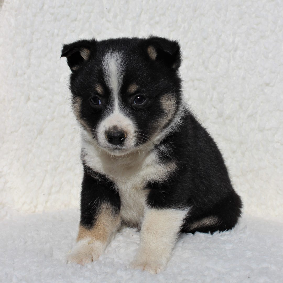 Harvey - Spitz Mix puppy for sale in Charlotte Hall, Maryland
