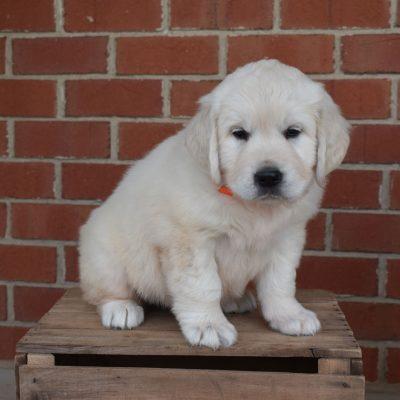 Heather - AKC English Cream Golden Retriever female puppy for sale near Gordonville, Pennsylvania