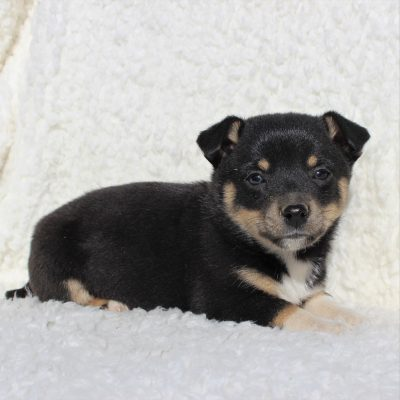 Hector - Spitz Mix male pupper for sale near Charlotte Hall, Maryland