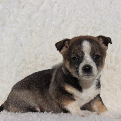 Heidi - Spitz Mix puppy for sale near Charlotte Hall, Maryland