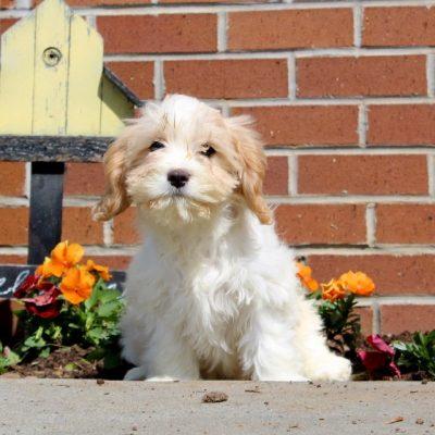 Hillary - puppy F1 Cavachon female for sale near New Providence, Pennsylvania
