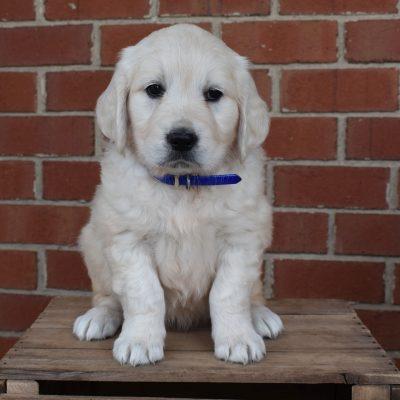Holly - AKC English Cream Golden Retriever female pup for sale in Gordonville, Pennsylvania