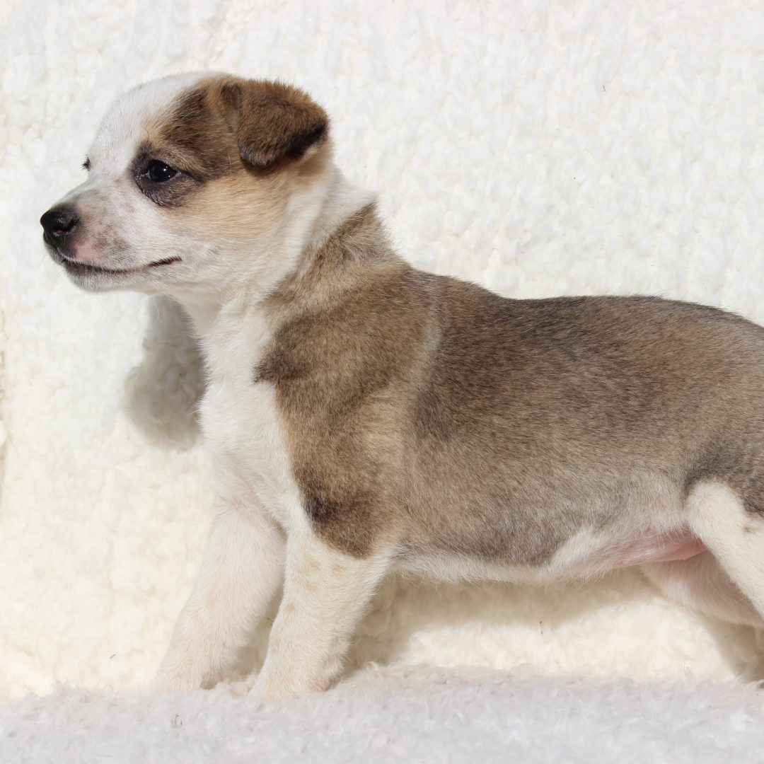 Hope - doggie Spitz Mix female for sale at Charlotte Hall, Maryland