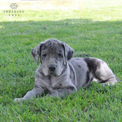 Indigo - ACA Great Dane male doggie for sale near Lititz, Pennsylvania