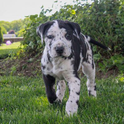 Isabell - ACA Great Dane female pup for sale near Lititz, Pennsylvania