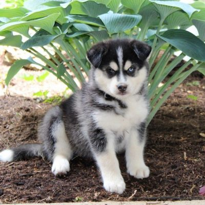 Jack - puppy Pomsky male for sale at Drumore, Pennsylvania