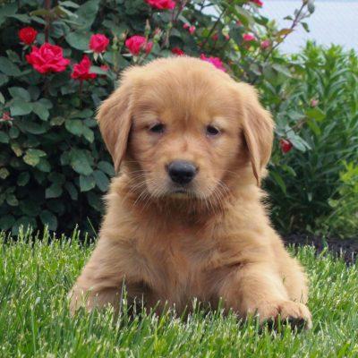 Jade - ACA Golden Retriever puppy for sale near Gordonville, Pennsylvania