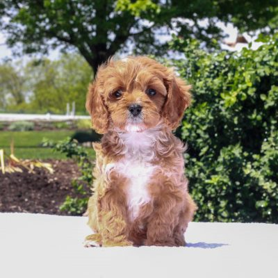 Jade - F1 Cavapoo female puppy for sale near Honeybrooke, Pennsylvania